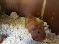 Very handsome baby male guinea pigs for sale