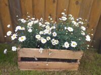 Beautiful large wooden crate of daisies