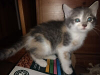 5 x Kittens - Ready Now - Grey / Torty / Ginger