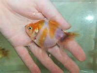 Young Fancy goldfish (Oranda)