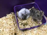 2 Russian Dwarf Hamsters with a Cage and Toys