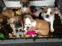 Bull mastiff cross bulloxer puppies