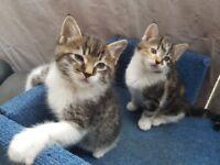 Gorgeous kittens tortie girl and lovely boy ( £ 150 for each kitten)