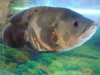 Oscar fish. Big personality