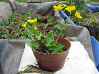 Marsh marigolds, can be fully immersed in pond give good leaf cover, oxygenating weed