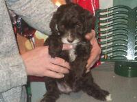 Brown/white F2 Cockerpoo puppy (female)