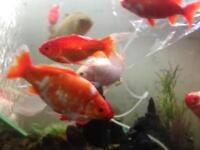 Gold fish aquarium fishtank