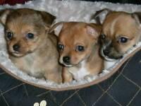 Jackhuhawa puppies