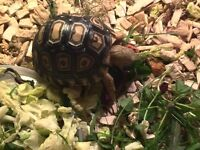 Baby African Leopard Tortoise For Sale