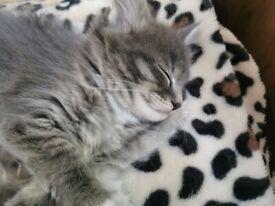 Beautiful Maine Coon kittens