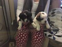 Beautiful pug x shih tzu puppies boy and girl 8 weeks old