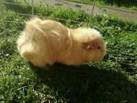Ronnie male guinea pig