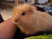 Lovely 2 year old guinea pig male. Unusual texture!