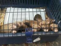9 week old male and female ferrets