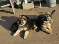 German Shepherd puppy s