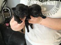 French bull dog pups