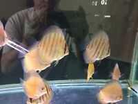 Discus fish x2