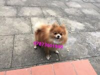 Pedigree Orange Sable Pomeranian Girl for Sale