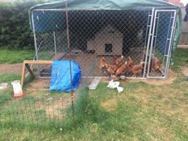 Chicken set up