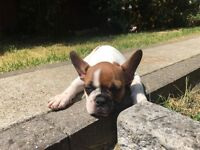 French Bulldog boy 4 months old for sale