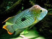 Pair of beautiful, large, Green Terror Cichlids for sale