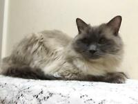 Pure male Ragdoll cat - lovely and handsome