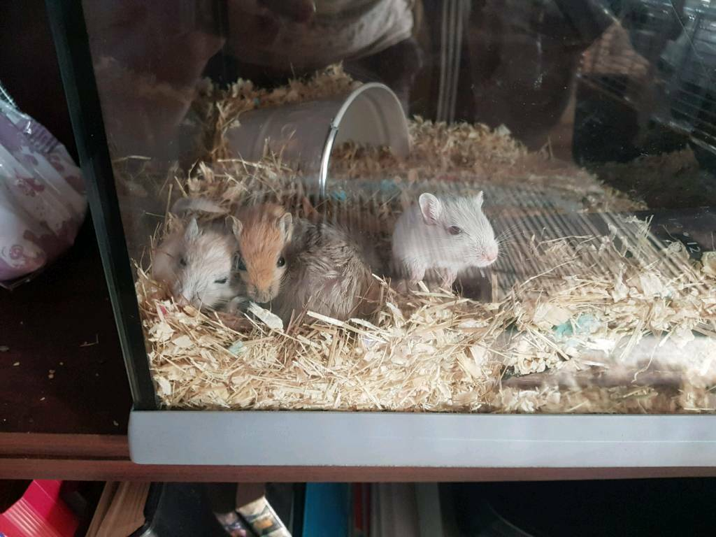 Cute little gerbils looking for a loving home