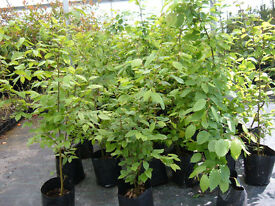 HORNBEAM 10lt potted hedging.5ft tall only £8 .Fast growing Native hedging make a great screen now.