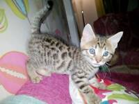 Beautiful Bengal Kittens (all Reserved)