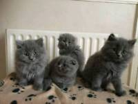 Kittens for sale longhair blue