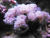 Pulsing Xenia Marine Reef fish safe aquarium invertebrate