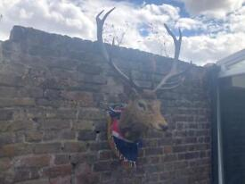 Stunning Mounted Stag Head