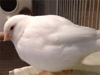 White recessive Canary for sale