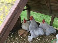 3 lavender pekin bantam boys