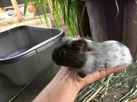 Baby boar guniea pig