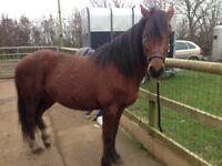 14hh ish bright bay project pony £750 price negotional for the right home