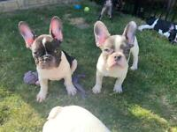 Merle & Pied French Bulldog Puppies