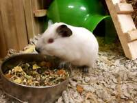 Baby guinea pigs males and females