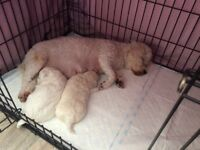 FULL PEDIGREE BICHON FRISE PUPS / PUPPIES / PUP / PUPPY