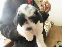 pedigreed 10week old toy parti poodle female