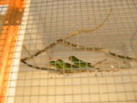 mountain parakeets for sale
