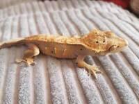 Cb 16 male crested geckos