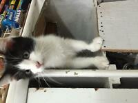 "Siamese/ragdoll ""oreo"" 7weeks negotiable on price"