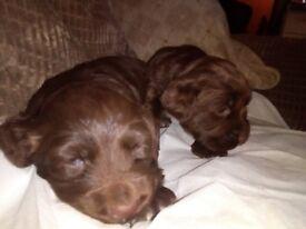 4 beautiful chocolate sprocker spaniel puppies