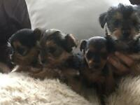 CHORKIE PUPS FOR SALE BURGESS HILL