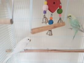 female and male budgies with cage for sale
