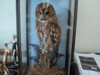 Taxidermy Tawney owl superb quality