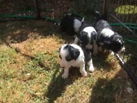 CockerCollie pups
