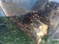 Brazilian black and white knee tarantula 1yr old with tank
