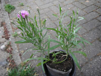 Plants for sale-Two cornflower plants in fabric pot